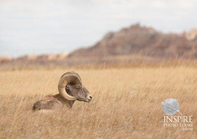 Big Horn Sheep On Break