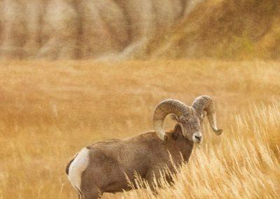 Big Horn Sheep On Watch