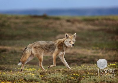 Coyote On Prowl