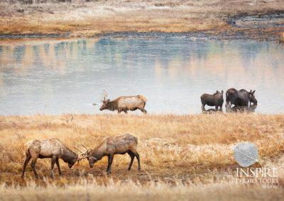 Elk and Moose