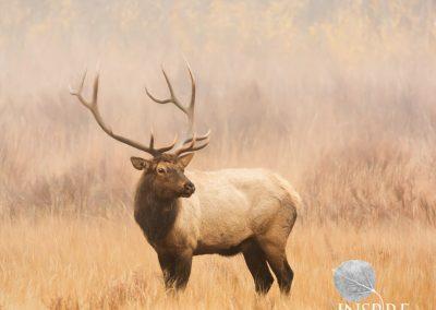 Elk in Grass